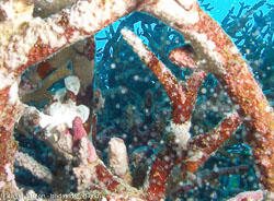 BD-070405-Similan--Antennarius-maculatus-(Desjardins.-1840)-[Warty-frogfish].jpg